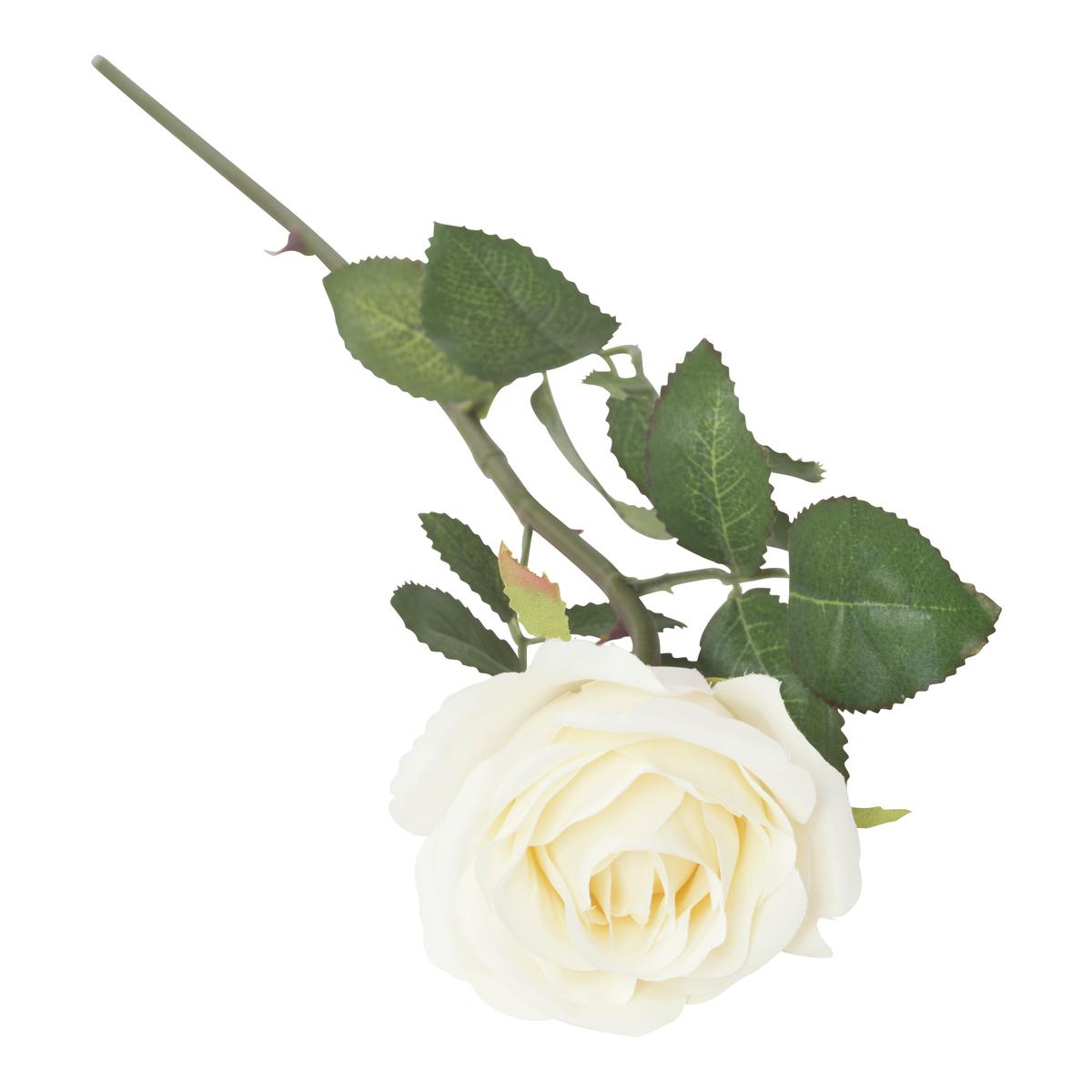 Kortstilket rose